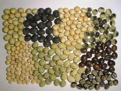 File:Soybean.jpg