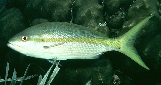 File:Yellowtail.JPG