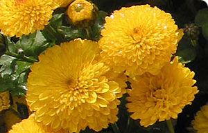 File:Chrysanthemum.jpg