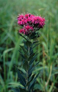 File:Vernonia.jpg
