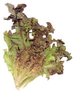 File:Oakleaf lettuce.jpg