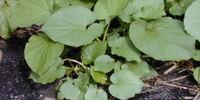 Hoja santa leaf