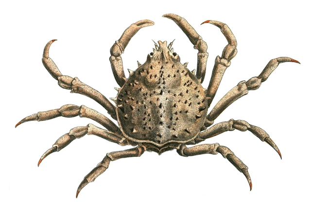 File:Spider crab.png