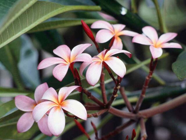 File:Frangipani Flowers.jpg