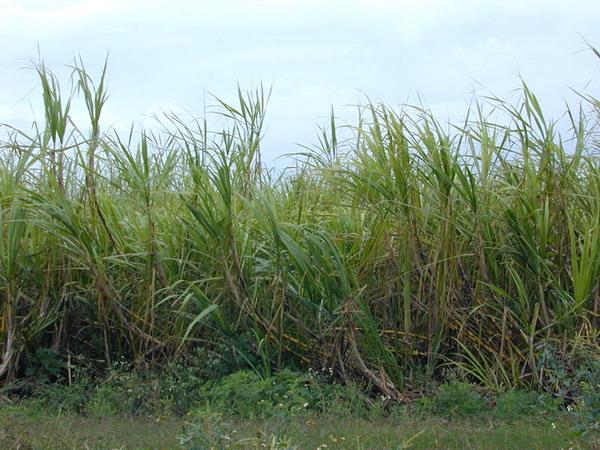 SugarcaneStalks