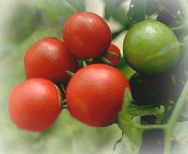 File:Tomato.jpg