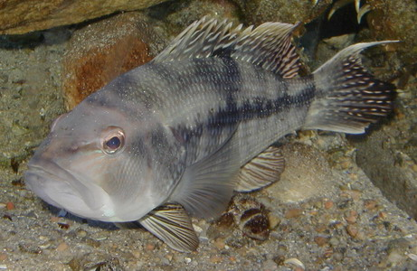 File:BlackSeaBass.jpg
