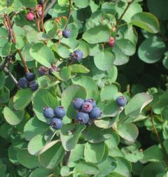 File:Juneberry.jpg