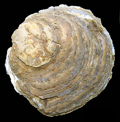File:Native oyster.jpg