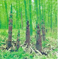 File:BambooShoot.jpg