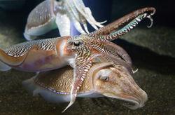 File:Cuttlefish.jpg