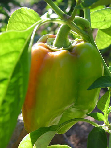 File:GreenPepper.jpg