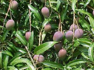 File:Mango.jpg