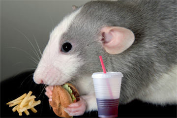 File:Rat-eating1.jpg