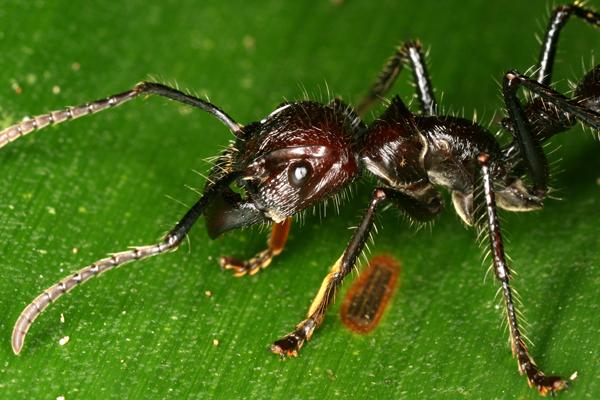 Resultado de imagen de hormiga bala