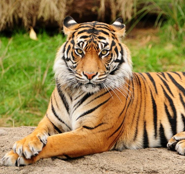 Tigre wiki reino animalia fandom powered by wikia - Colorazione pagina di tigre ...