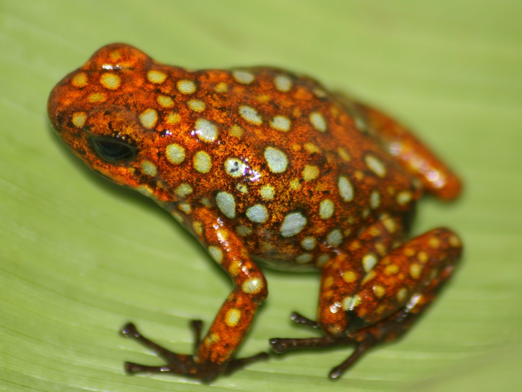 http://vignette2.wikia.nocookie.net/reptiles/images/3/35/Histrionica_Leaf.jpg/revision/latest?cb=20111019010712