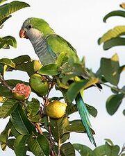192px-Monk Parakeet (Myiopsitta monachus) -Argentina-8