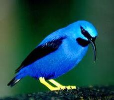 Purple Honeycreeper 2