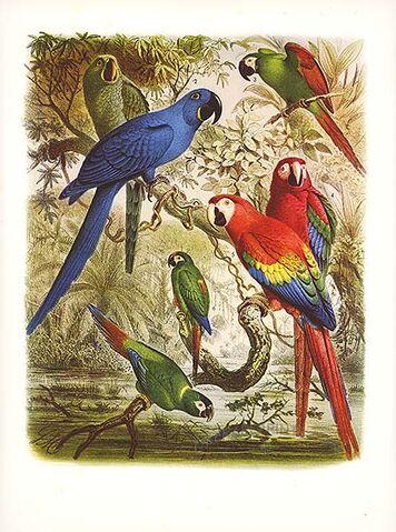 File:Macaw draw.jpg