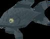Black moor fantail