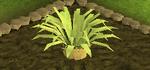 Pineapple plant 5