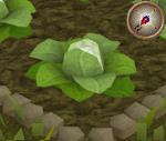 Cabbage5