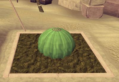 Potato cactus4