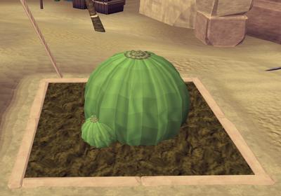 Potato cactus5