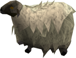 Shaggy sheep