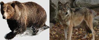 Wolf bear