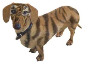 Tigerdoxie