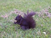 Black griffin squirrel