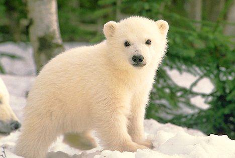 The bear cub quest