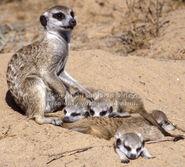 Meerkats 03-4606