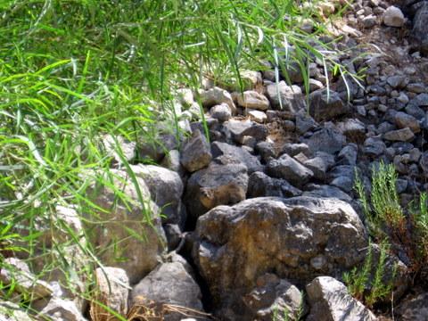 קובץ:שפן סלע.JPG