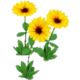Wildflower Black Eyed Susan