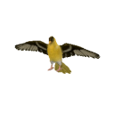 File:Goldfinch Transparent.png