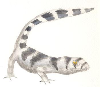 Skunk gecko2