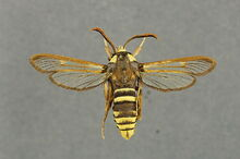Sesia apiformis mimicry