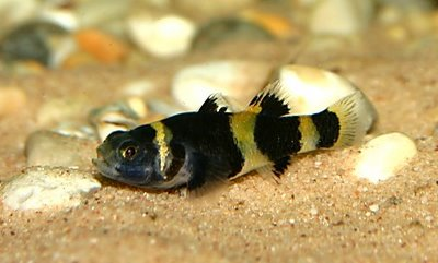 File:Bumble-Bee-Fish-Fish-Pictures.jpg