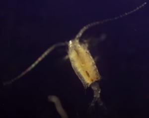 Mama Plankton