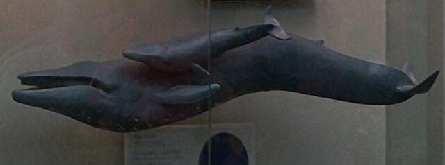 File:Blue whales.jpg