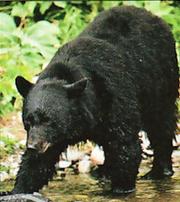 Tarik the bear-SWI24