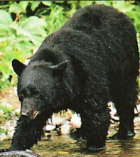 File:Tarik the bear-SWI24.png
