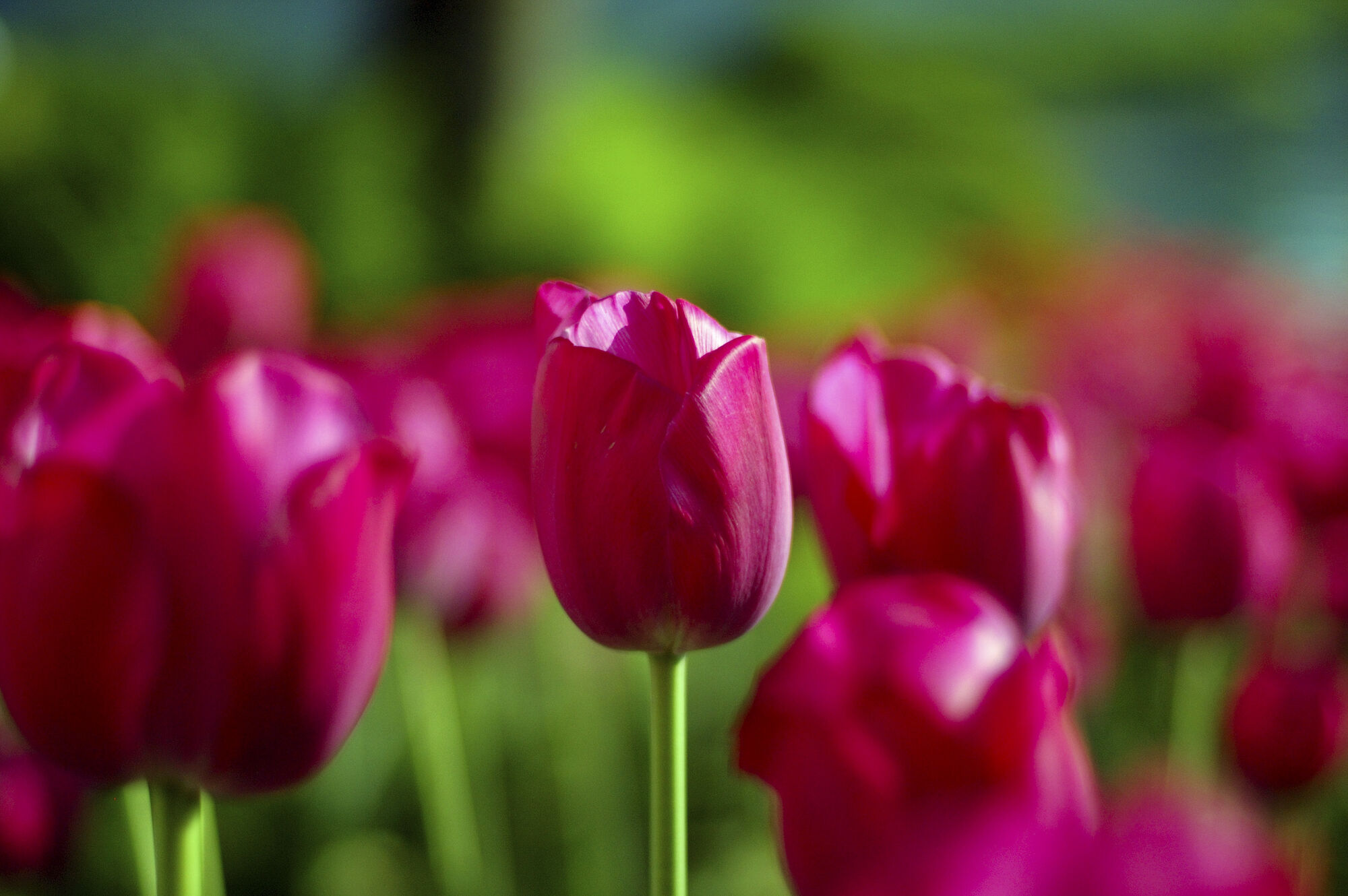 the symbolism of color in tulips Do you know the tulip meaning it depends on a color but is related to a love i tell 5 methods to make a smart confession with it you may succeed in your love.