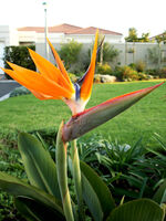 Bird+of+Paradise+flower-4079