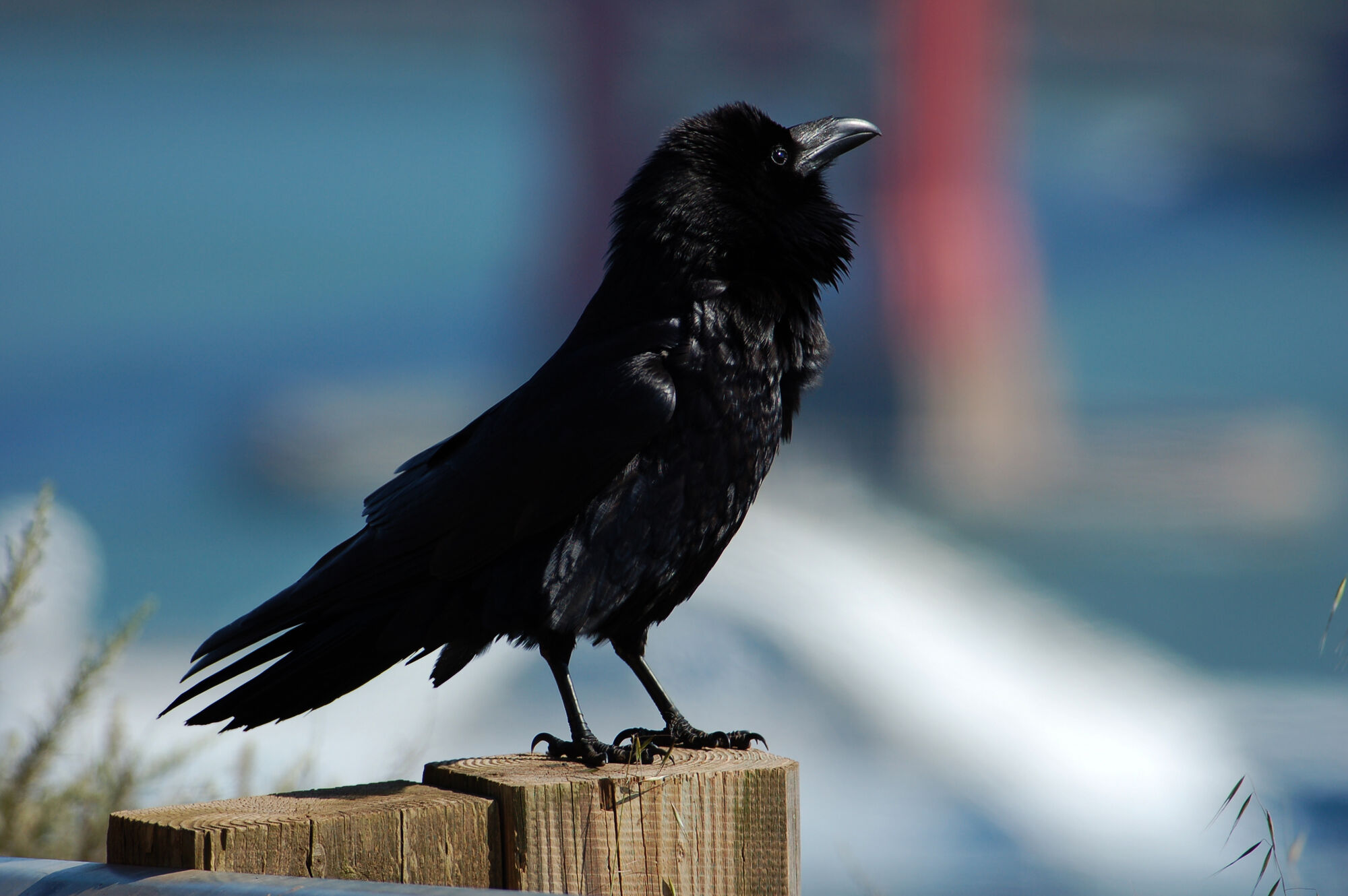 The symbolism and representations of the raven bird in history