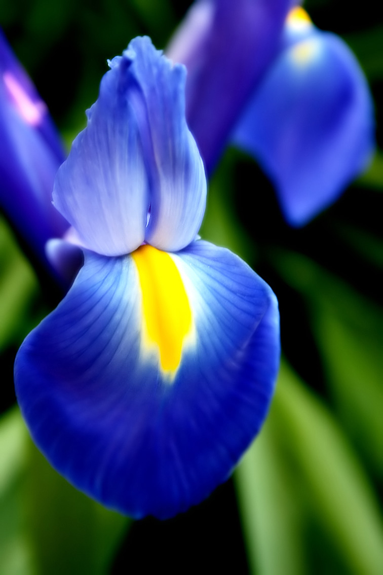 Iris Symbolism Wiki Fandom Powered By Wikia