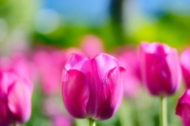 File:Girly pink tulips-3523.jpg